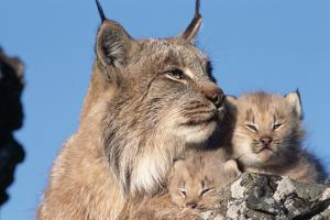 Canadian Lynx with Young by W. Perry Conway