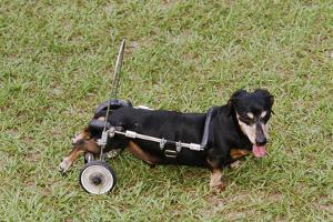 Dog Using a Dog Wheelchair by W. Perry Conway