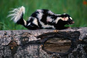 Eastern Spotted Skunk by W. Perry Conway