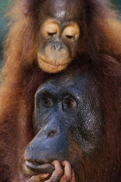 Female and Baby Orangutan in Borneo by W. Perry Conway