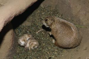 Female Prairie Dog with Pups by W. Perry Conway
