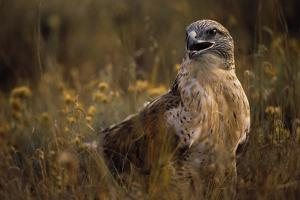 Ferruginous Hawk in Prairie Grass by W. Perry Conway