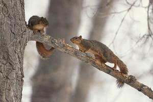 Fox Squirrels on Tree Branch by W. Perry Conway