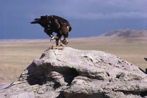 Golden Eagle Eating Prairie Dog by W^ Perry Conway