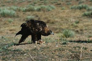 Golden Eagle with Prey by W. Perry Conway