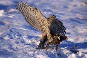 Goshawk Catching Prey by W. Perry Conway