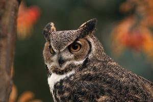 Great Horned Owl with Blurred Autumn Foliage by W. Perry Conway