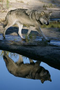 Grey Wolf and Reflection in Water by W. Perry Conway