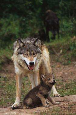Grey Wolf with Pup by W^ Perry Conway