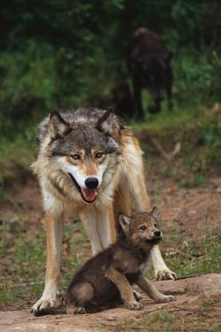 Grey Wolf with Pup by W. Perry Conway