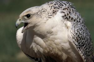 Gyrfalcon Close-Up by W. Perry Conway