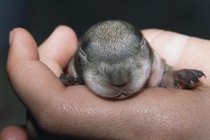 Hands Holding Prairie Dog Pup by W. Perry Conway