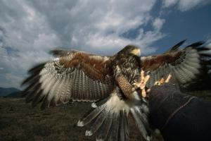 Harris' Hawk Lands on Falconer's Glove by W^ Perry Conway