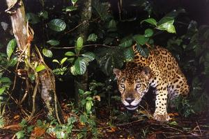 Jaguar in Rainforest by W. Perry Conway