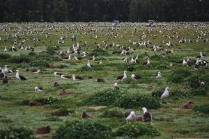 Laysan Albatross Nesting Grounds by W. Perry Conway