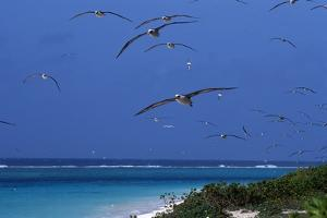 Laysan Albatrosses Flying by W^ Perry Conway