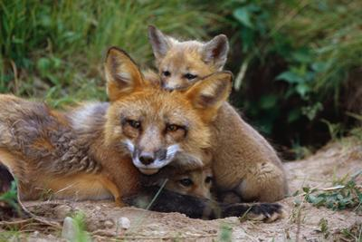 Mother Red Fox and Pups by W. Perry Conway