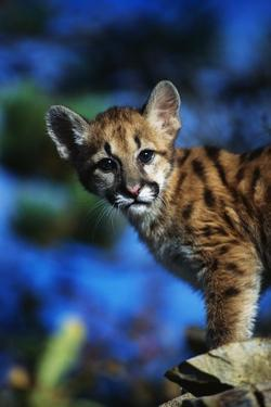 Mountain Lion Cub by W. Perry Conway