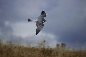 Peregrine Falcon in Flight by W^ Perry Conway