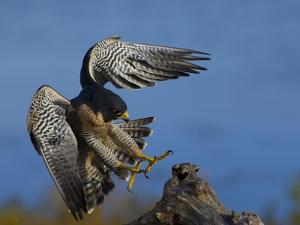 Peregrine Falcon Landing by W^ Perry Conway