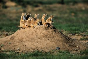 Prairie Dogs at their Burrow by W. Perry Conway