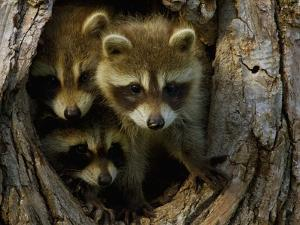 Raccoon Family in Hollow of Tree by W. Perry Conway