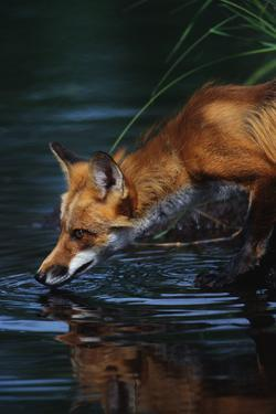 Red Fox Drinking Water by W^ Perry Conway