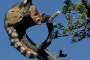 Ringtail Sitting in Pine Tree by W. Perry Conway