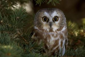 Saw-Whet Owl in Pine Tree by W^ Perry Conway