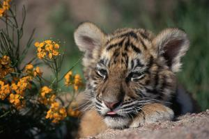 Siberian Tiger Cub by W. Perry Conway