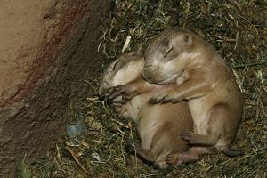 Sleeping Prairie Dog Pups by W. Perry Conway