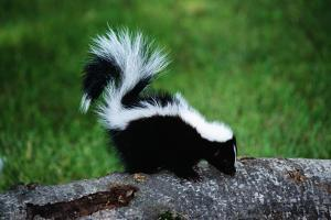 Striped Skunk by W. Perry Conway