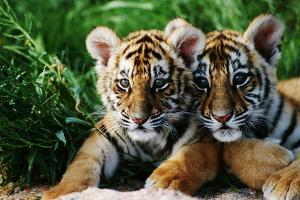 Two Siberian Tiger Cubs by W. Perry Conway