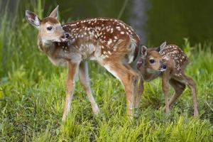 Two White-Tailed Deer Fawns by W. Perry Conway