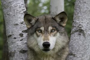 Wolf in Birches by W. Perry Conway