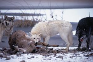 Wolf Pack Eating Deer Carcass by W. Perry Conway