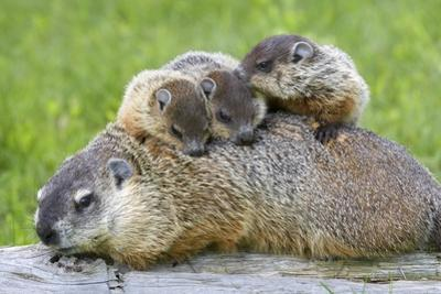 Woodchuck Family by W. Perry Conway