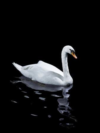 A Single White Swan by Walker and Walker
