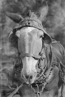 Mule in Hale County, Alabama, c.1936 by Walker Evans