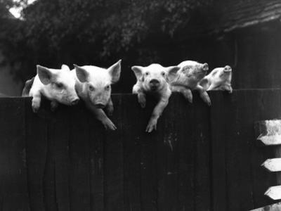 Wall Pigs