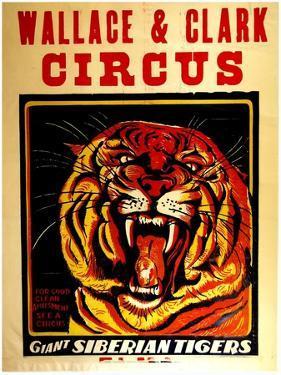 Wallace & Clark Cirbus - Giant Siberian Tigers Poster, Circa 1945