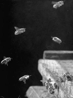 Honeybees by Wallace Kirkland