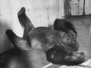 Phil the Gorilla Sleeping on His Back at the St. Louis Zoo by Wallace Kirkland
