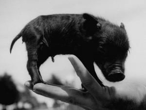Picture of a Baby Pig in the Palm of a Mans Hand by Wallace Kirkland