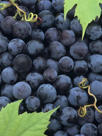 A Harvest of Juicy Concord Grapes by Wally Eberhart
