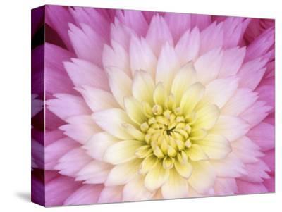 Close Up of a Dahlia Hybrid Flower, Gay Princess Variety by Wally Eberhart