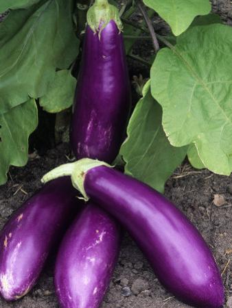 Eggplant 'Neon' by Wally Eberhart