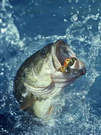 Largemouth Bass Diving for Lure by Wally Eberhart