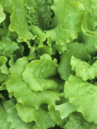 Lettuce Leaves of the Black-Seeded Simpson Variety (Lactuca Sativa) by Wally Eberhart