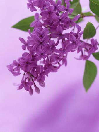 Lilac Flowers (Syringa X Hyacinthiflora), Asessippi Variety by Wally Eberhart